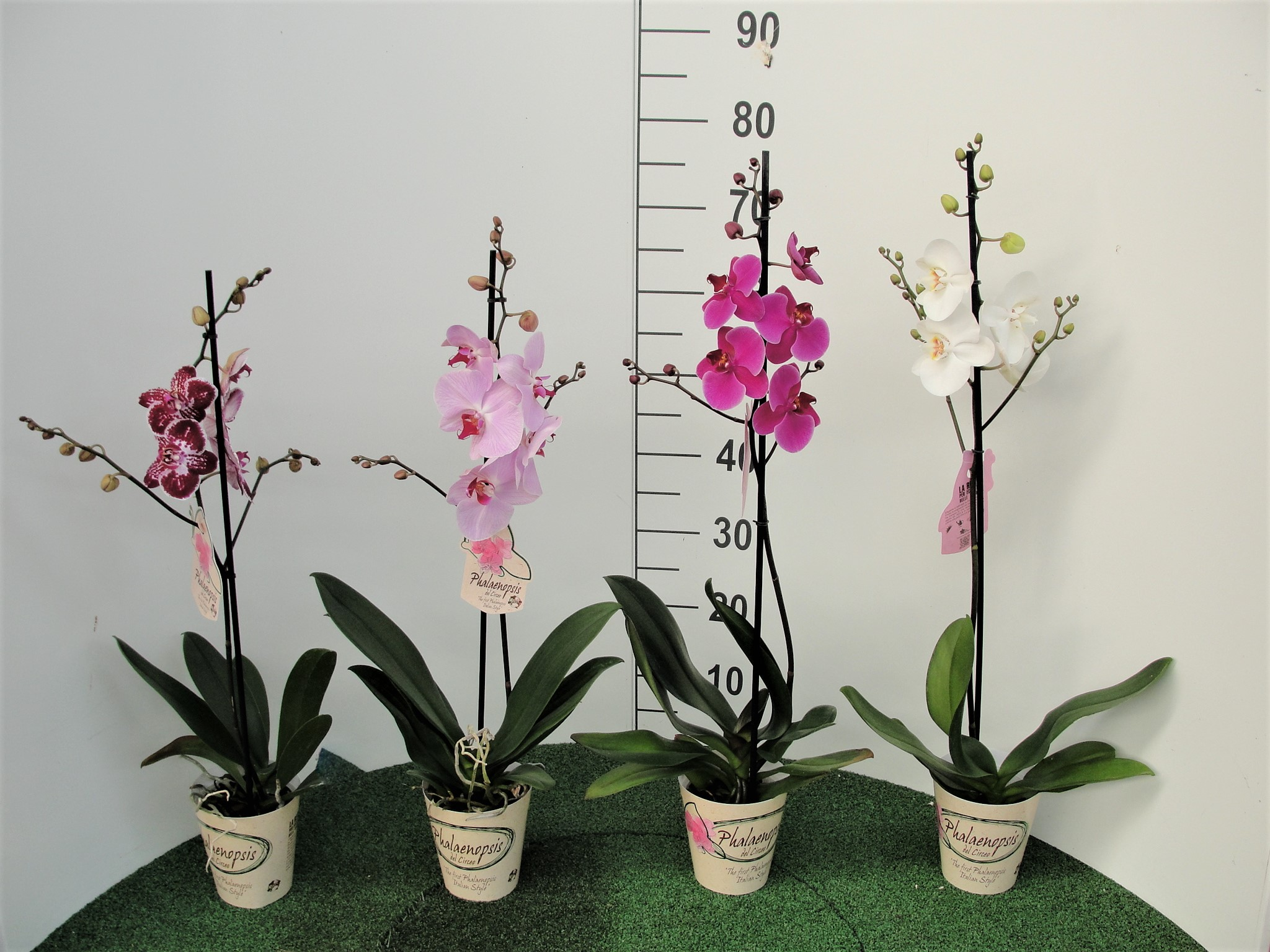 Phalaenopsis Made in Italy