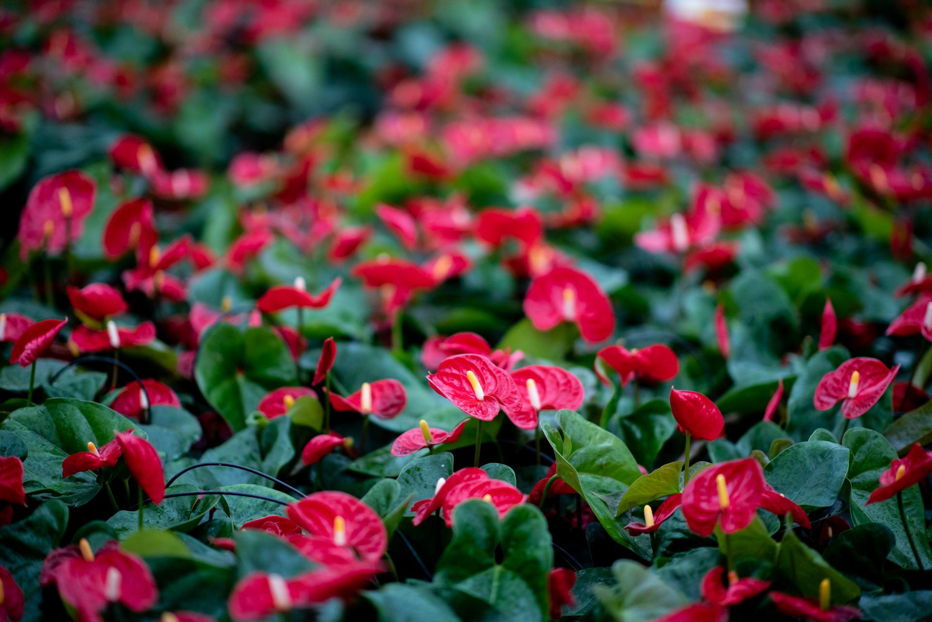 Piante Eleganti Da Appartamento anthurium: una delle piante da appartamento più amate di sempre